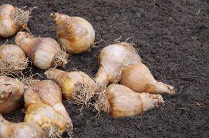 When to plant flower bulbs in Ontario
