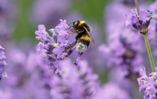 Importance of attracting bees to your garden from Dirt Cheap Kitchener