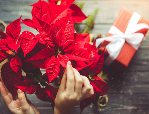 How to Care for Your Holiday Plants